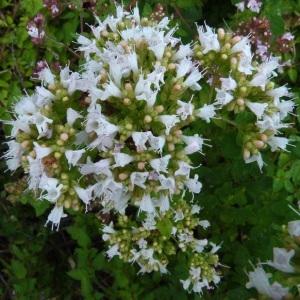 Photographie n°39293 du taxon Origanum vulgare subsp. viridulum (Martrin-Donos) Nyman