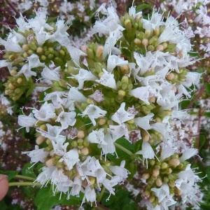 - Origanum vulgare subsp. viridulum (Martrin-Donos) Nyman