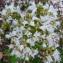 Bertrand BUI - Origanum vulgare subsp. viridulum (Martrin-Donos) Nyman