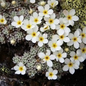 Androsace vandellii (Turra) Chiov. (Androsace de Vandelli)