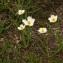 John De Vos - Ranunculus kuepferi Greuter & Burdet