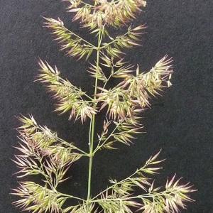 Photographie n°39330 du taxon Calamagrostis epigejos (L.) Roth [1788]