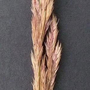 Photographie n°39334 du taxon Calamagrostis epigejos (L.) Roth [1788]