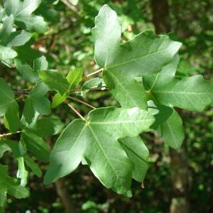 Photographie n°39367 du taxon Acer monspessulanum L. [1753]