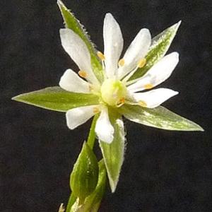 Photographie n°39413 du taxon Stellaria alsine Grimm