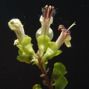 Photographie n°39418 du taxon Teucrium scorodonia L. [1753]