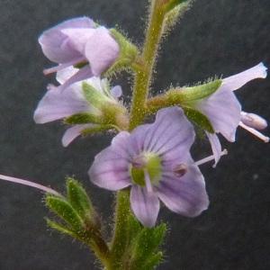 Photographie n°39421 du taxon Veronica officinalis L.