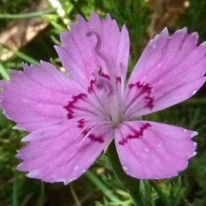 Photographie n°39475 du taxon Dianthus deltoides L. [1753]