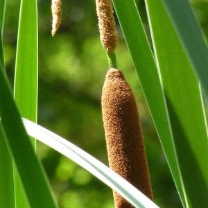 Photographie n°39489 du taxon Typha angustifolia L.