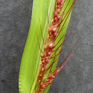 Photographie n°39513 du taxon Echinochloa crus-galli (L.) P.Beauv. [1812]