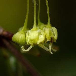 Photographie n°39518 du taxon Acer monspessulanum L. [1753]