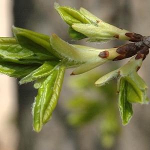Photographie n°39519 du taxon Acer monspessulanum L. [1753]