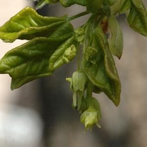 Photographie n°39520 du taxon Acer monspessulanum L. [1753]