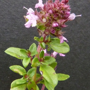 Photographie n°39529 du taxon Thymus praecox Opiz [1824]