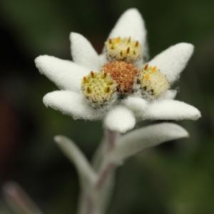 Photographie n°39543 du taxon Leontopodium alpinum Cass. [1822]
