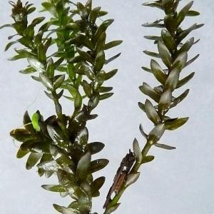 Photographie n°39558 du taxon Elodea canadensis Michx. [1803]