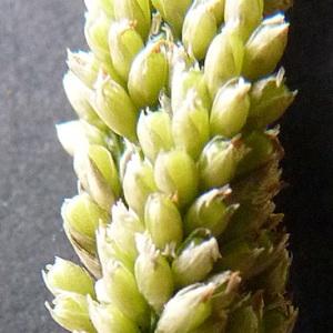 Photographie n°39578 du taxon Sporobolus indicus (L.) R.Br.