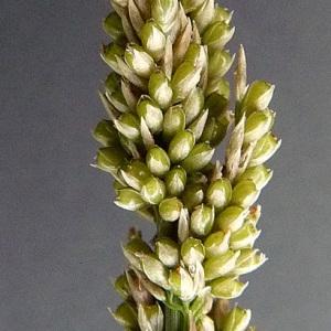 Photographie n°39580 du taxon Sporobolus indicus (L.) R.Br.
