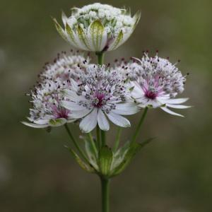 Photographie n°39591 du taxon Astrantia major L.