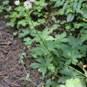 Photographie n°39593 du taxon Astrantia major L.