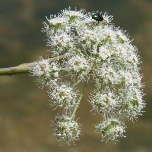 Photographie n°39604 du taxon Angelica sylvestris L.