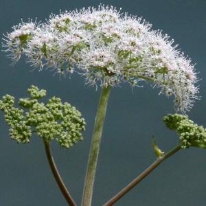 Photographie n°39605 du taxon Angelica sylvestris L.