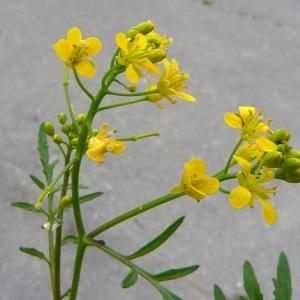 Photographie n°39610 du taxon Rorippa sylvestris (L.) Besser