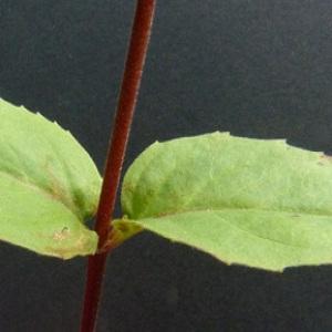 Photographie n°39646 du taxon Epilobium montanum L. [1753]