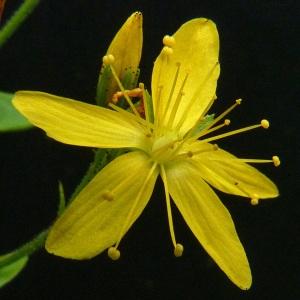 Photographie n°39652 du taxon Hypericum hirsutum L.