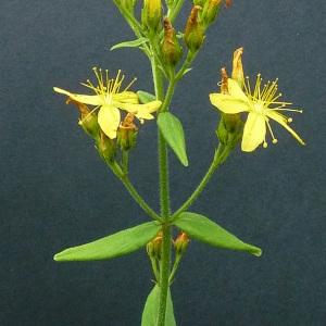 Photographie n°39654 du taxon Hypericum hirsutum L.