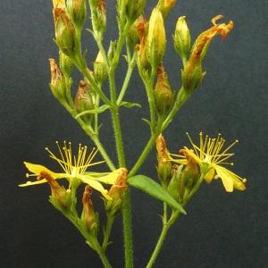 Photographie n°39655 du taxon Hypericum hirsutum L.