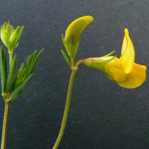 Photographie n°39657 du taxon Lotus corniculatus subsp. tenuis (Waldst. & Kit. ex Willd.) Berher