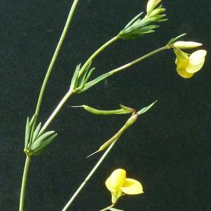 - Lotus corniculatus subsp. tenuis (Waldst. & Kit. ex Willd.) Berher
