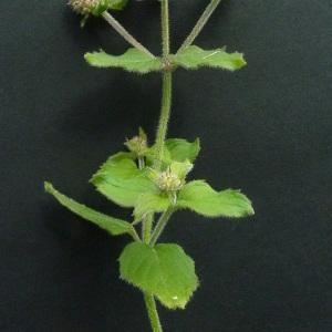 Photographie n°39660 du taxon Mentha aquatica L.