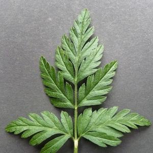 - Torilis japonica (Houtt.) DC. [1830]
