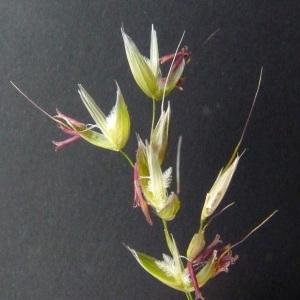 Arrhenatherum elatius (L.) P.Beauv. ex J.Presl & C.Presl (Fenasse)
