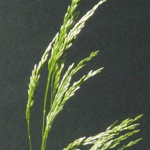 Deschampsia cespitosa (L.) P.Beauv. (Canche cespiteuse)