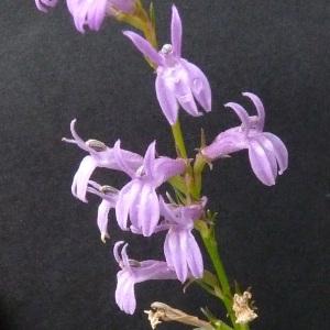 Photographie n°39673 du taxon Lobelia urens L. [1753]