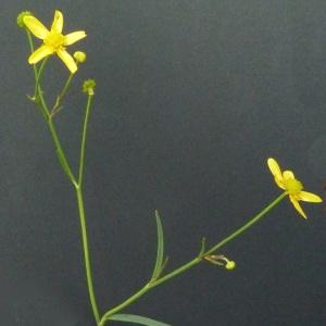 Photographie n°39686 du taxon Ranunculus flammula L. [1753]
