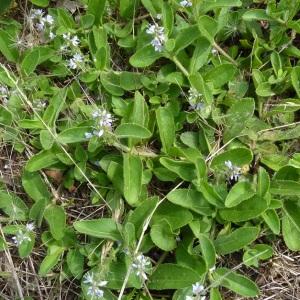 Photographie n°39700 du taxon Veronica officinalis L.