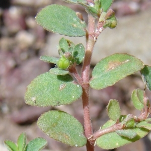 Photographie n°39720 du taxon Euphorbia prostrata Aiton