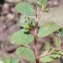 Paul Fabre - Euphorbia prostrata Aiton