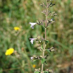 Photographie n°39728 du taxon Calamintha nepeta (L.) Savi [1798]