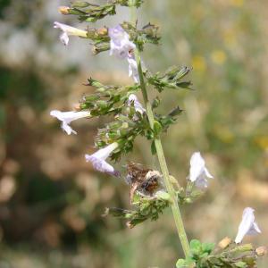 Photographie n°39730 du taxon Calamintha nepeta (L.) Savi [1798]
