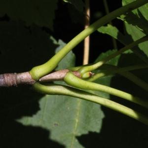 Photographie n°39762 du taxon Acer pseudoplatanus L.