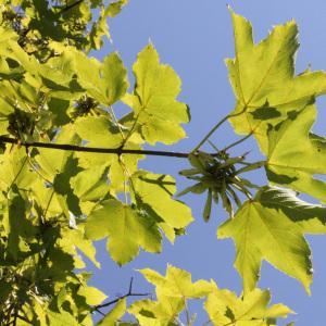 Photographie n°39764 du taxon Acer pseudoplatanus L.