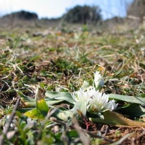 Photographie n°39798 du taxon Allium chamaemoly L. [1753]