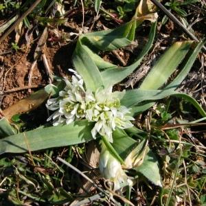 Photographie n°39799 du taxon Allium chamaemoly L. [1753]
