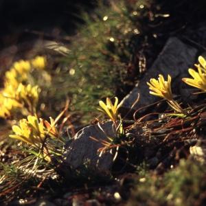 Photographie n°39923 du taxon Gagea bohemica (Zauschn.) Schult. & Schult.f. [1829]