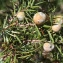 Christophe BERNIER - Juniperus oxycedrus L.